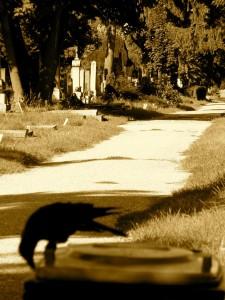Wien-Friedhofskrähe