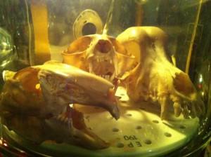 Einen tierischen Schädel gibt es nur im Glas ;)