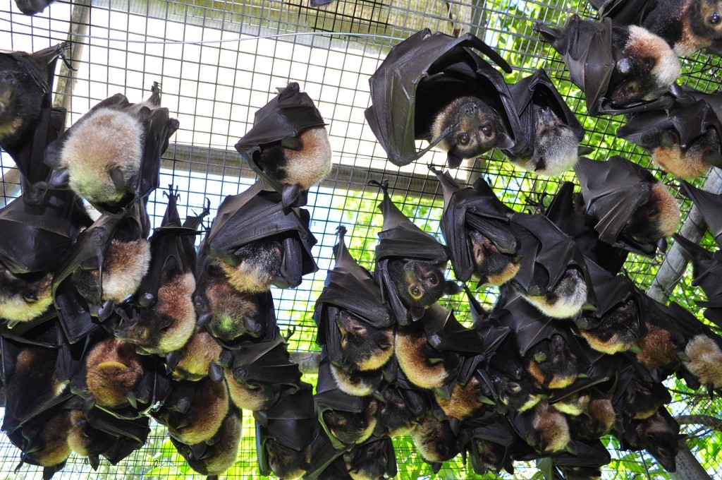 I like hanging around (photo: Tolga Bat Hospital - copyright)